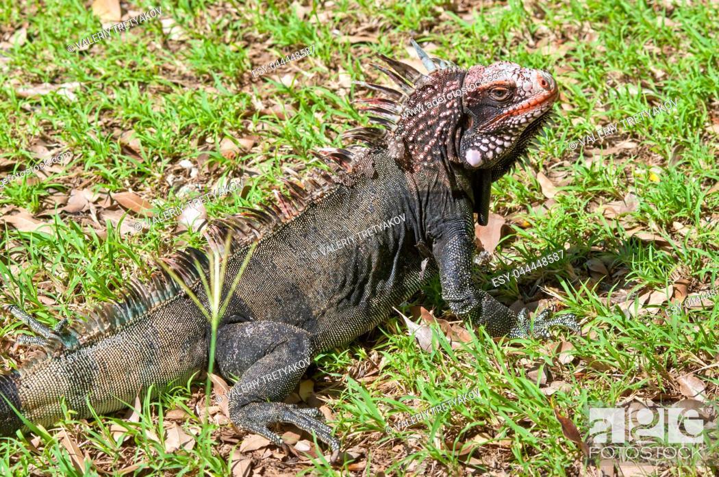 Stock Photo: Iguana sitting in the sun.