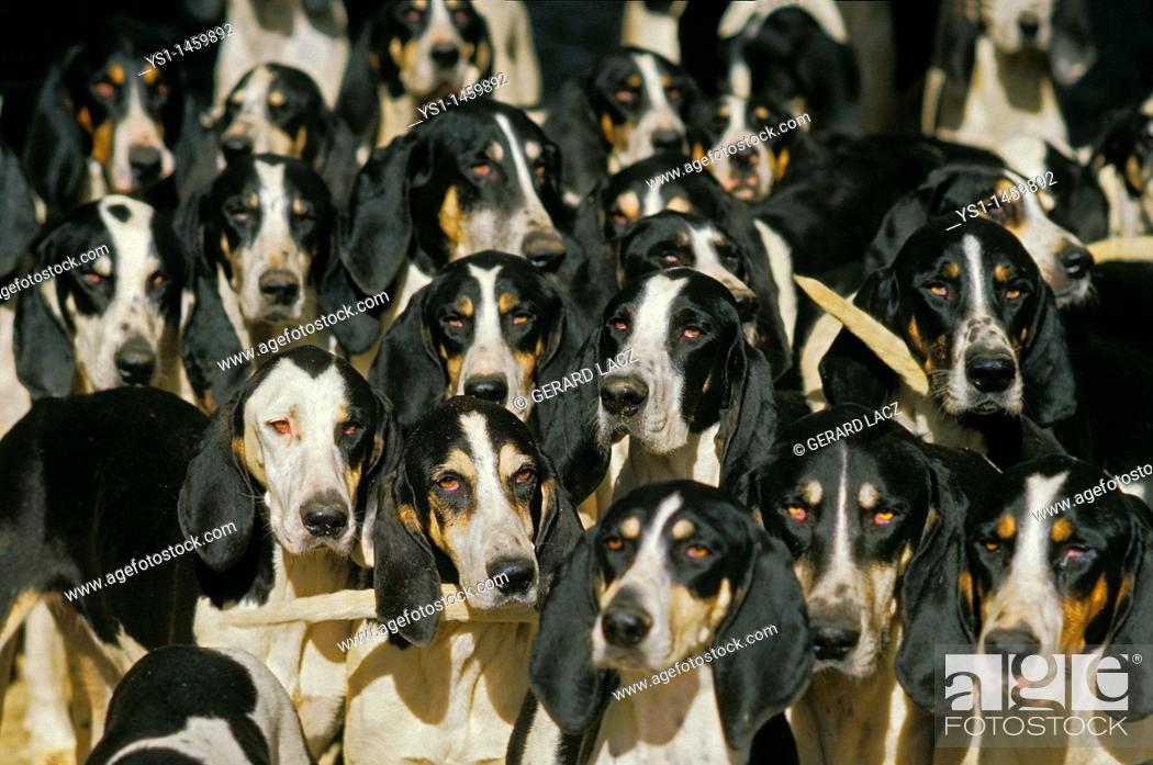 Stock Photo: GREAT ANGLO-FRENCH WHITE AND BLACK HOUND, PACK OF ADULTS.