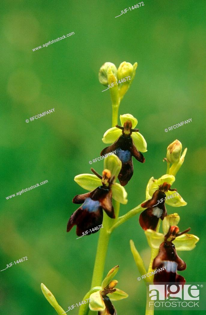 Stock Photo: Fly orchid / Ophrys insectifera.