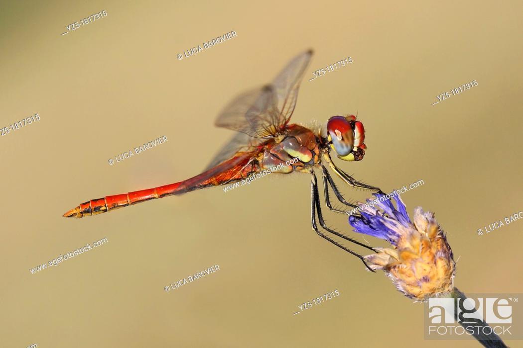 Stock Photo: Scarlet Dragonfly, Crocothemis erythraea, male - Italy.