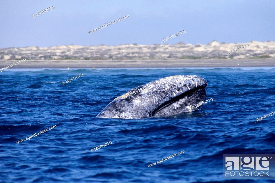 Stock Photo: gray whale (Eschrichtius robustus, Eschrichtius gibbosus), surfacing, Mexico, Baja Mexico.
