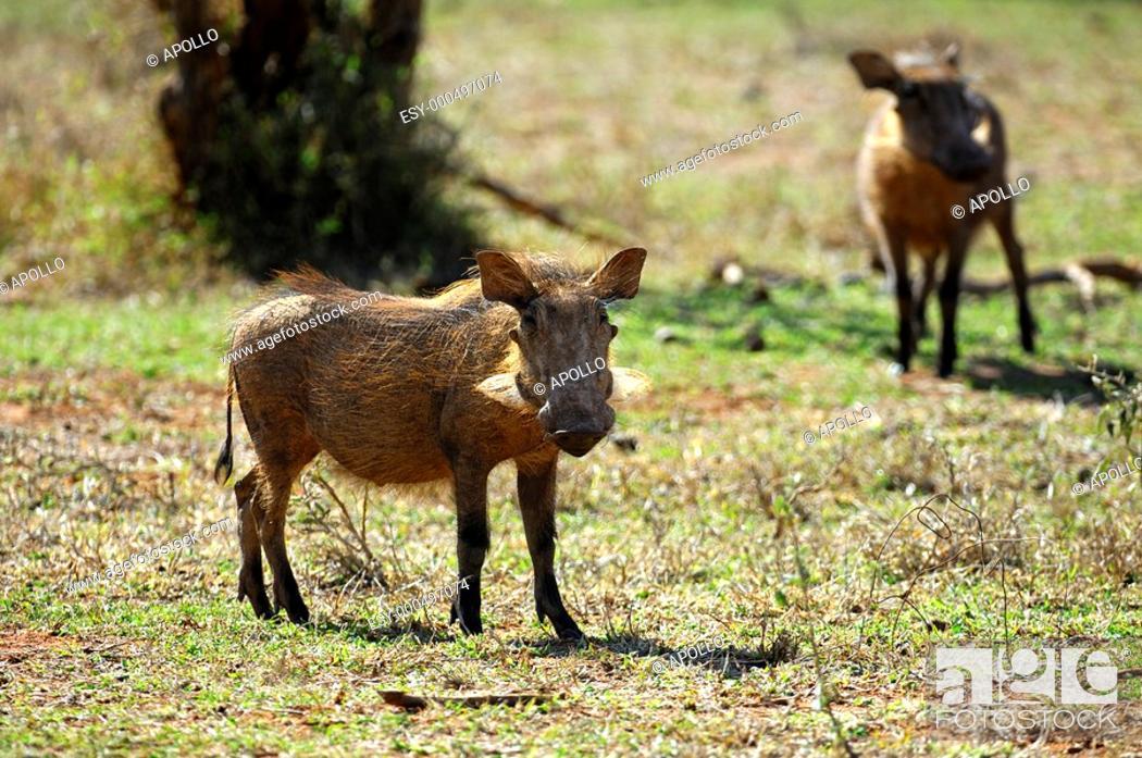 Stock Photo: Warthog, Phacochoerus africanus, Madikwe Game Reserve, South Africa.