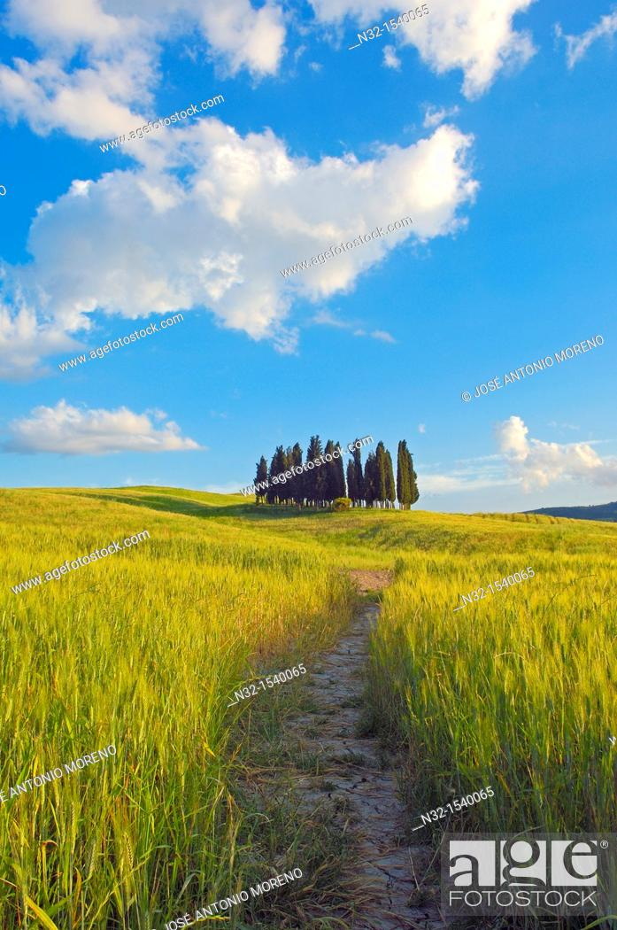 Stock Photo: Cypress trees, San Quirico d'Orcia, Val d'Orcia, Siena Province,Tuscany, Italy.