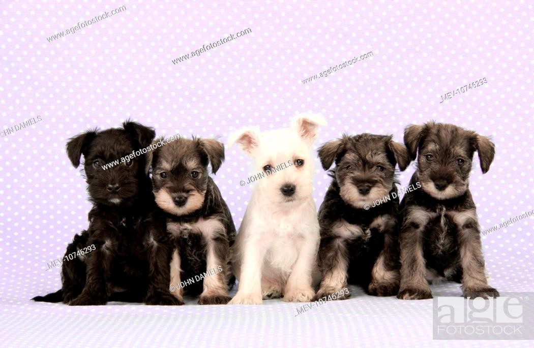 Dog Miniature Schnauzer Puppies 6 Weeks Old Stock Photo Picture And Rights Managed Image Pic Mev 10746293 Agefotostock