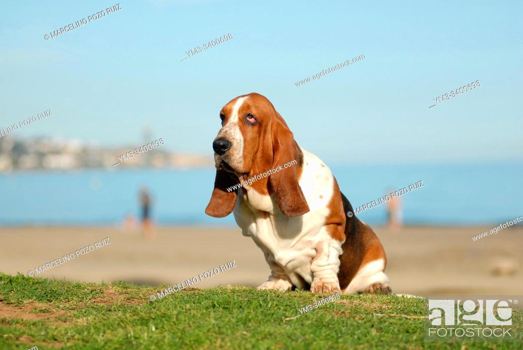 Stock Photo: Basset Hound purebred dog seated on the grass near the sea.