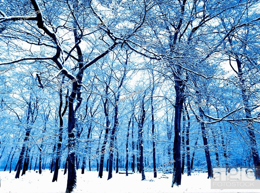 Imagen: winter trees in forest covered in snow bostall wood belvedere kent england uk.