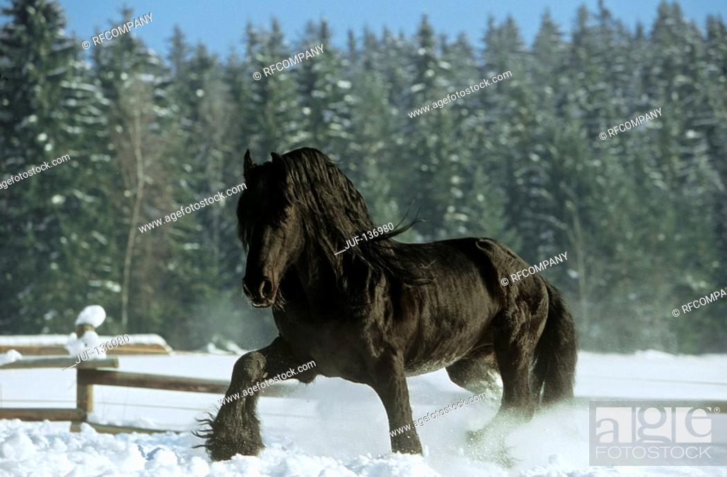 Stock Photo: Friesian horse - walking in snow.