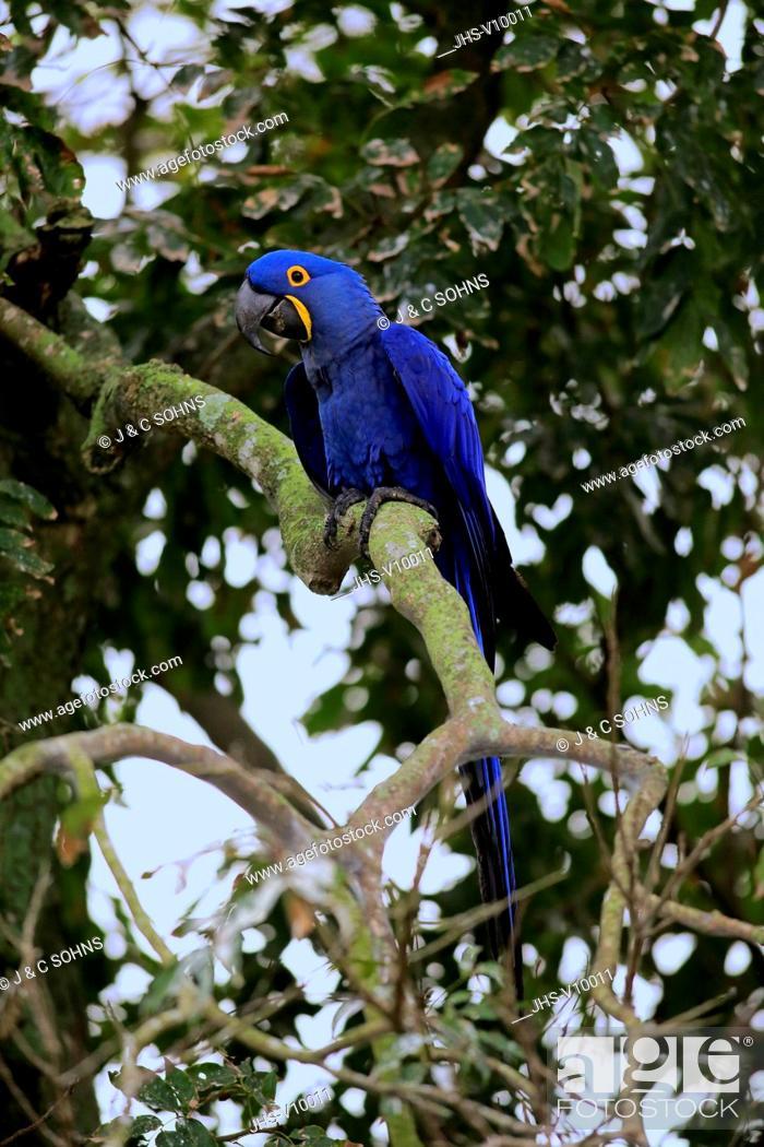 Stock Photo: Hyacinth Macaw, Blue Macaw, (Anodorhynchus hyacinthinus), adult on tree, Pantanal, Mato Grosso, Brazil, South America.