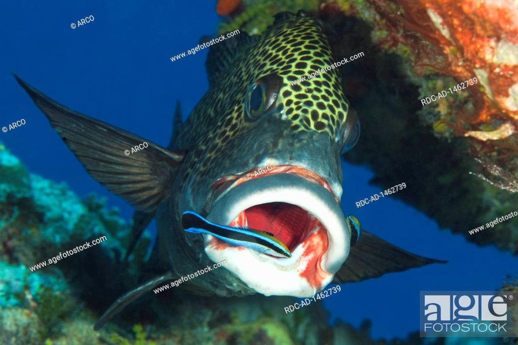 Stock Photo: harlequin sweetlips and cleaner fish, cleaning station, Yap Caverns, Yap Island, FSM, Federal States of Micronesia, Pacific, Plectorhinchus chaetodonoides,.