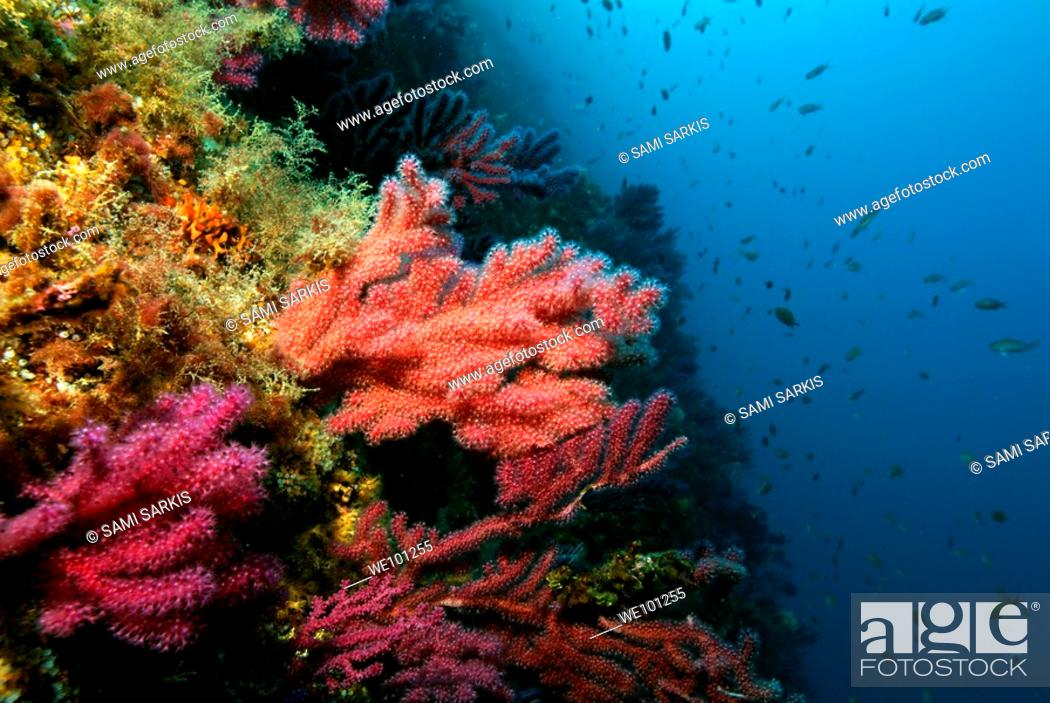 Stock Photo: Red gorgonian (Alcyonium palmatum) on a coral reef, Caramasaigne, Riou Island, Marseille, France.