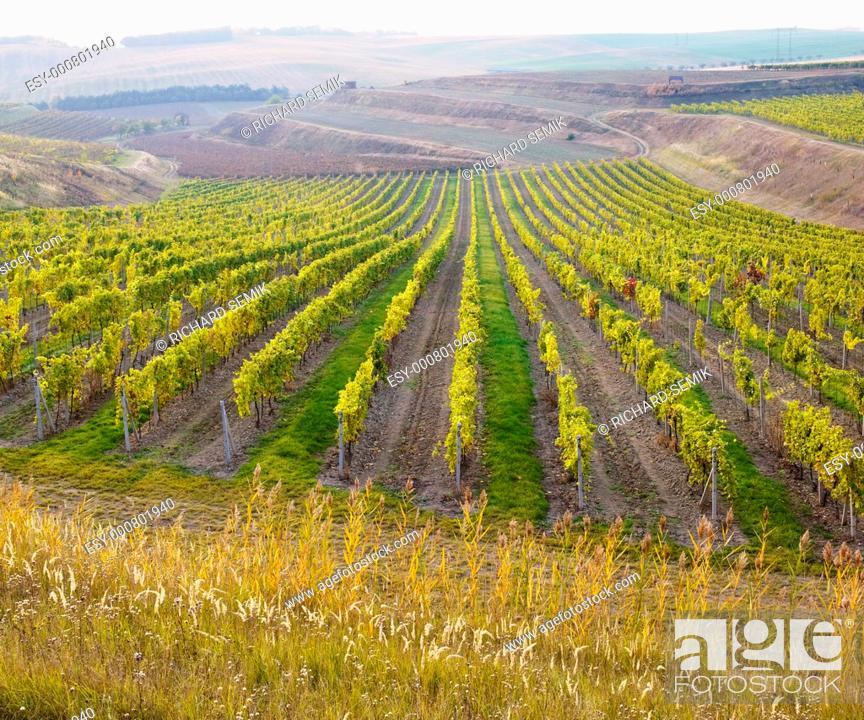 Stock Photo: vineyard Ulehle, Livi Dubnany, Czech Republic.