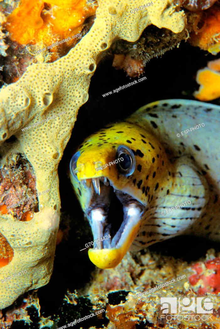 Stock Photo: Fimbriated Moray (Gymnothorax fimbriatus). Indo-Pacific Ocean, Borneo. Malaysia.
