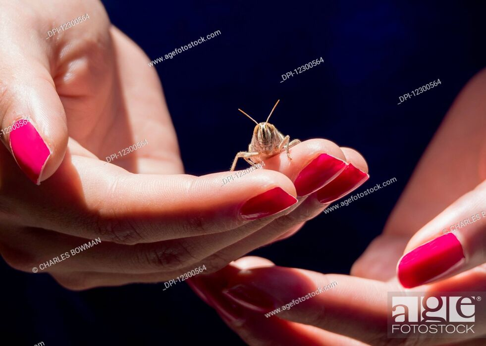 Stock Photo: Woman's hands with red fingernails holding a grasshopper; Spain.