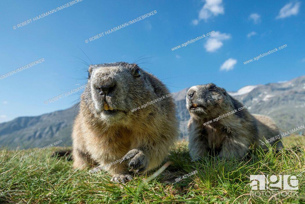 Stock Photo: Two alpine marmots (Marmota marmota), High Tauern National Park, Carinthia, Austria.