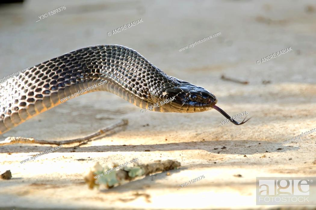 Stock Photo: Split tongue - Texas Indigo Snake Drymarchon Melanurus Erebennus.