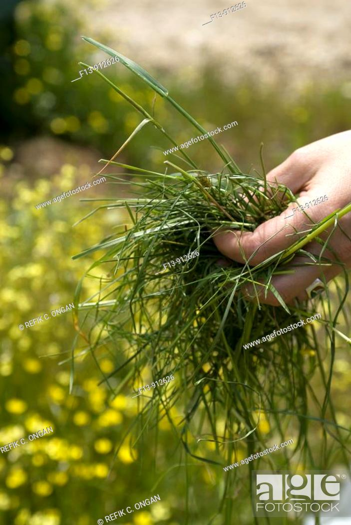 Stock Photo: grass on hand.