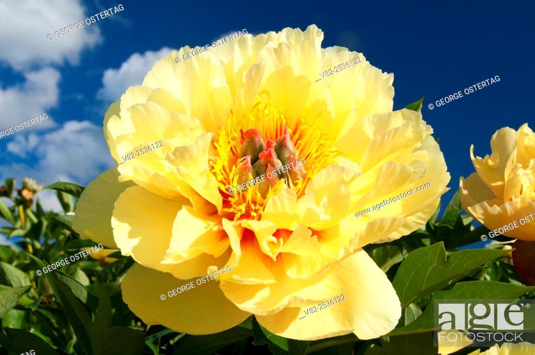 Stock Photo: Bartzella peony, Adelman Peony Garden, Brooks, Oregon.