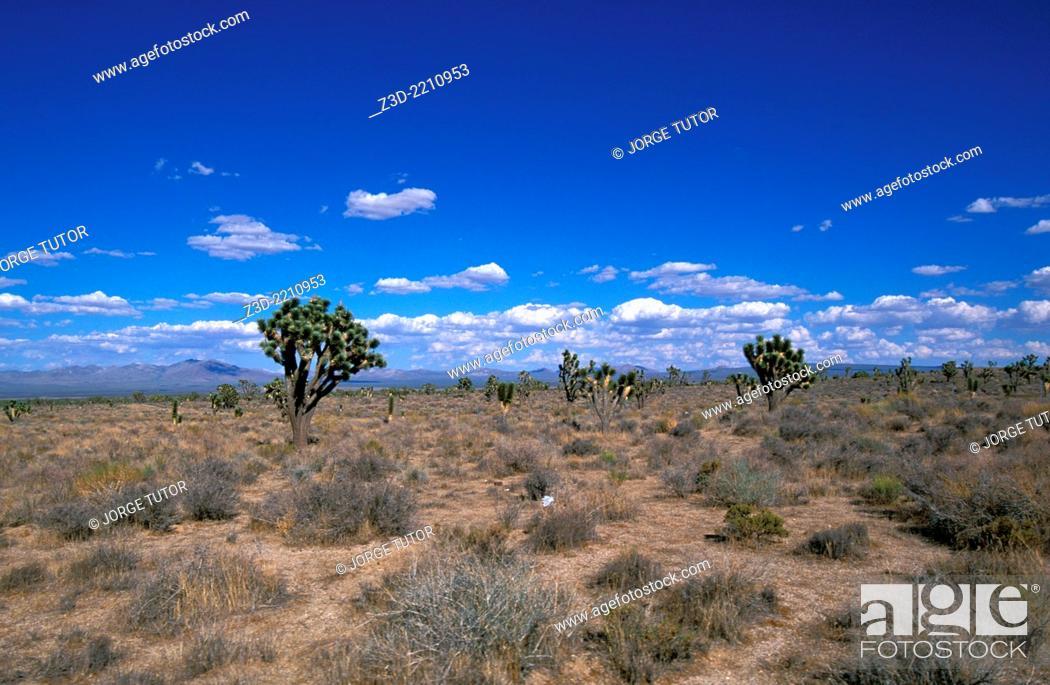 Stock Photo: Joshua tree cactus, California desert, USA.