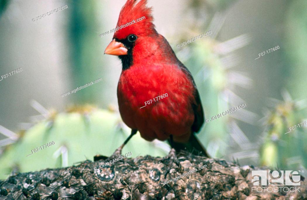 Stock Photo: Northern Cardinal (Cardinalis cardinalis).
