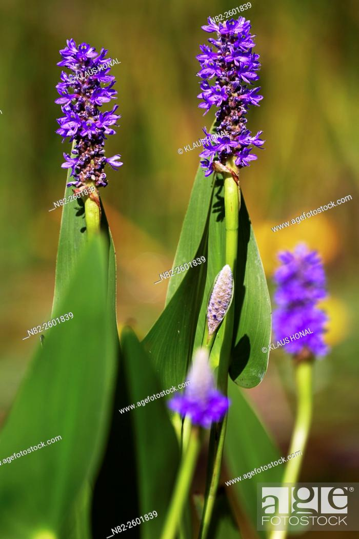 Stock Photo: Pickerelweed (Pontederia cordata) is an exotic plant from North-America and Central-America. Pontederia cordata is in Europe a popular aquatic plant -.