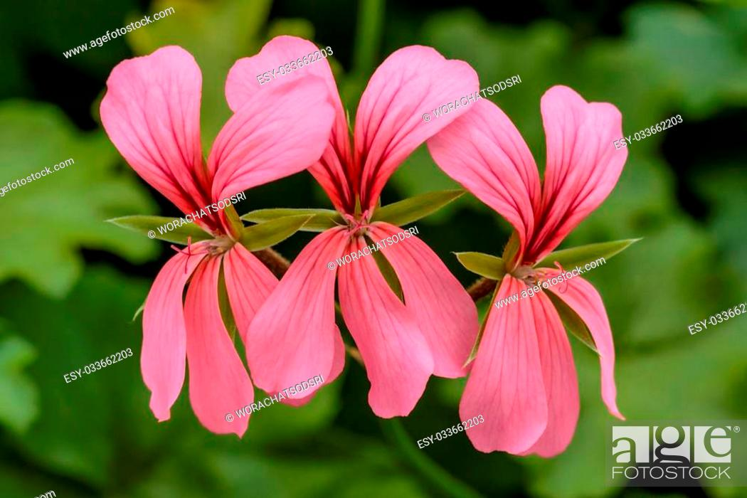 Stock Photo: Many beautiful pink flowers are blooming.