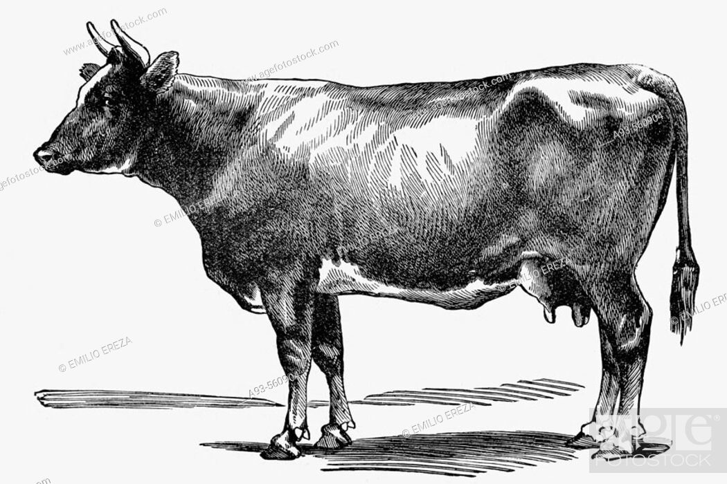 Stock Photo: Cow. Antique drawing, ca. 1900.