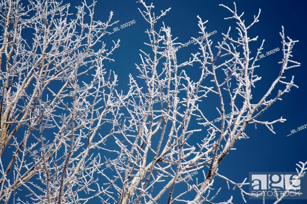 Stock Photo: Frost on twigs.