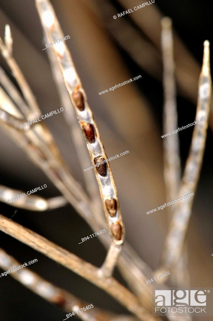 Stock Photo: Dried plant (fam. Cruciferae). Osseja, Languedoc-Roussillon, Pyrénées-Orientales, France.