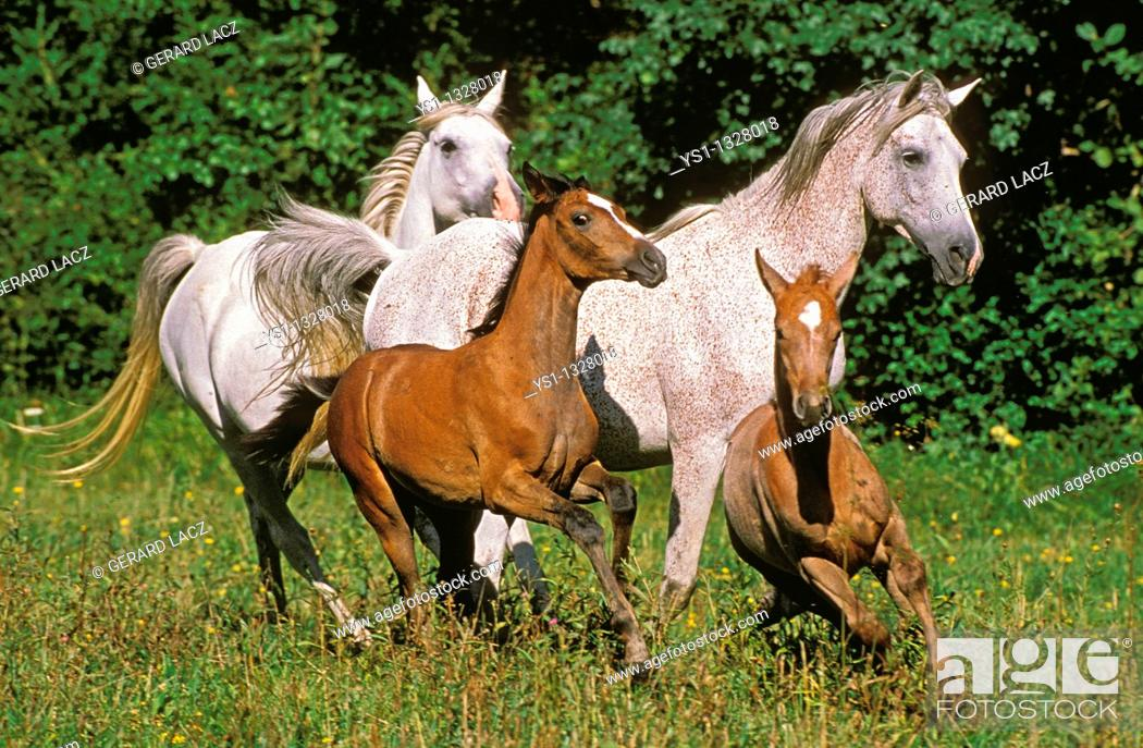 Stock Photo: ARABIAN HORSE, MARES WITH FOALS GALLOPING THROUGH MEADOW.