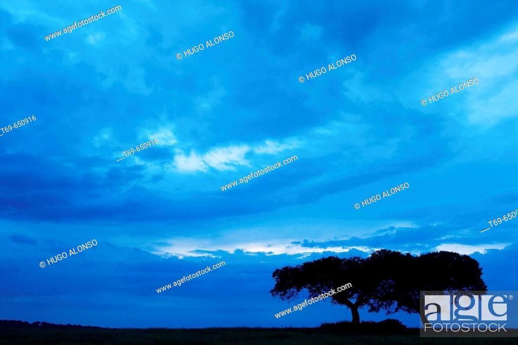 Stock Photo: Quercus ilex. Monfrague Natural Park. Caceres province. Extremadura. Spain.