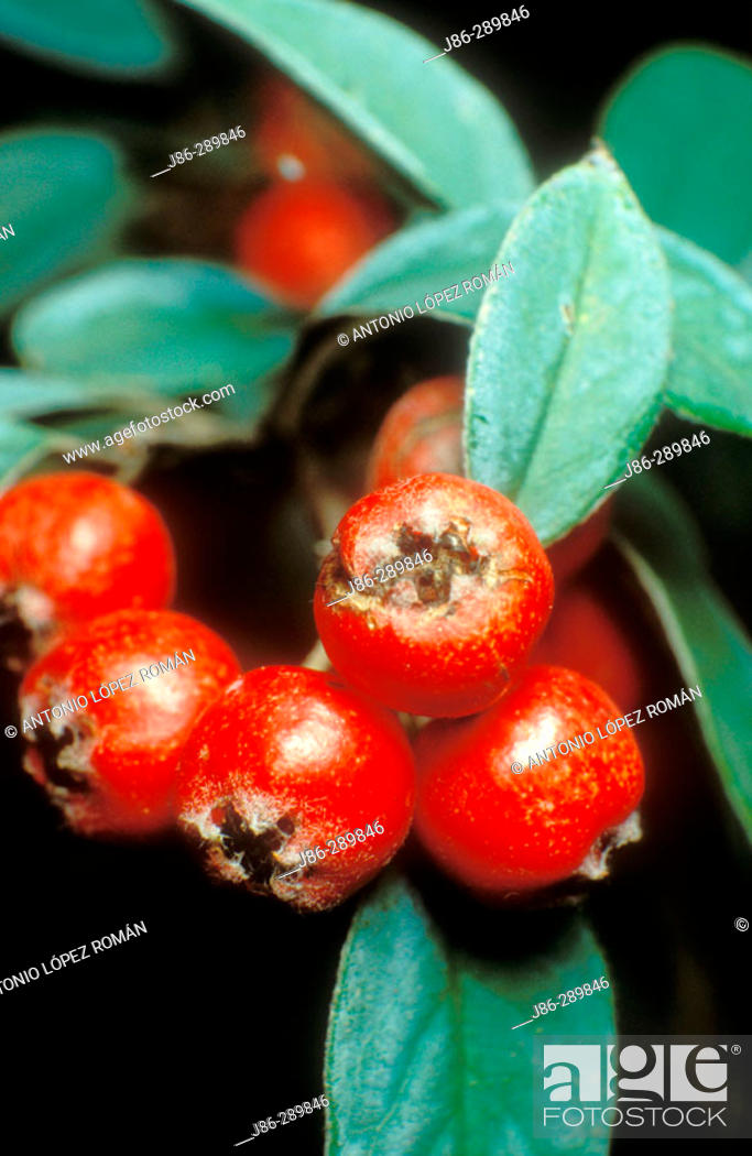 Stock Photo: Berries (Piracantha coccinea).