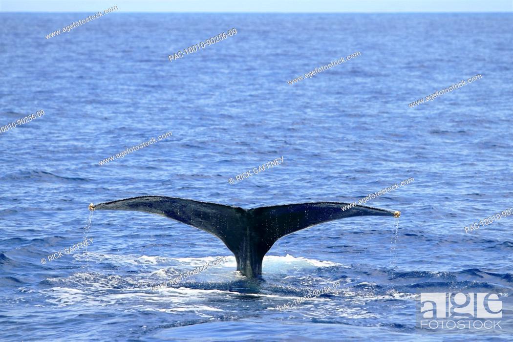 Stock Photo: Big Island, Hawaii, Central Pacific Ocean, endangered Humpback Whale Megaptera novaeangliae tail lobbing.