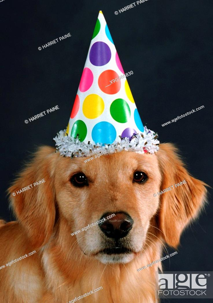 Stock Photo: Golden Retriever with party hat.
