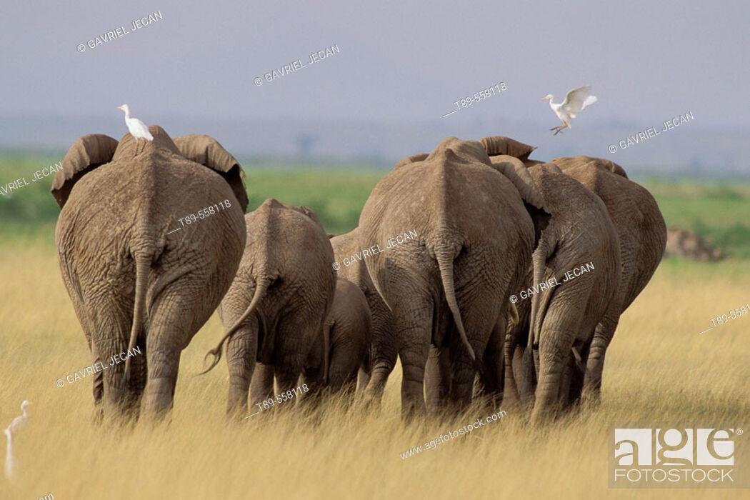 Stock Photo: AFRICA, Kenya, Amboseli , African Elephants - Loxodonta africana & cattle egrets.