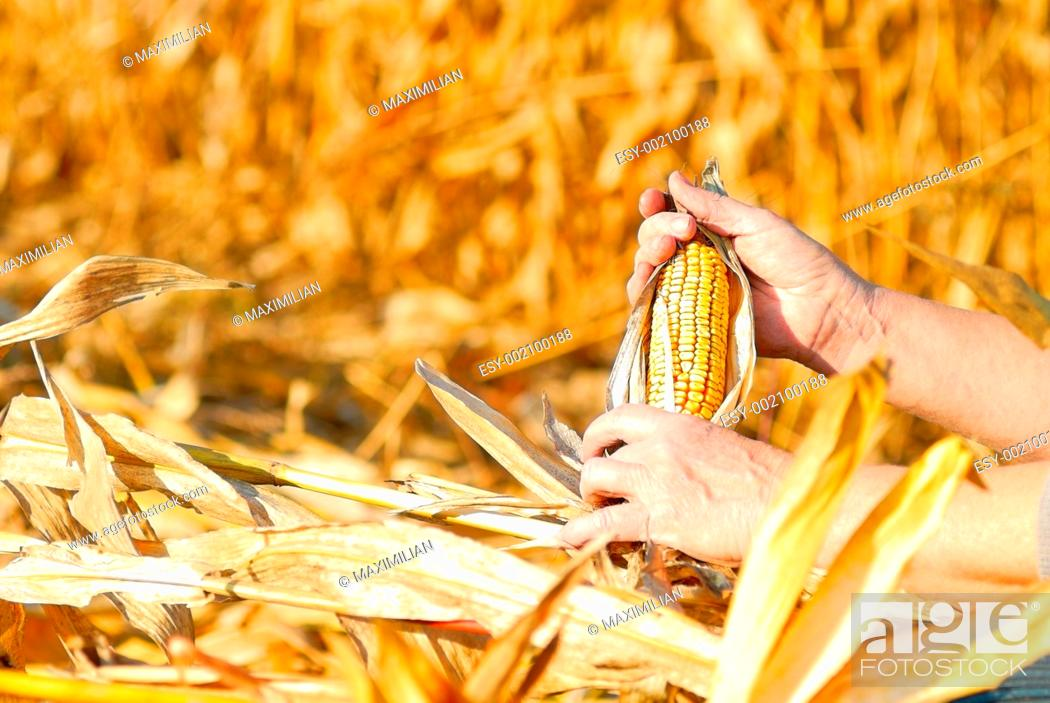 Stock Photo: harvesting a corn.