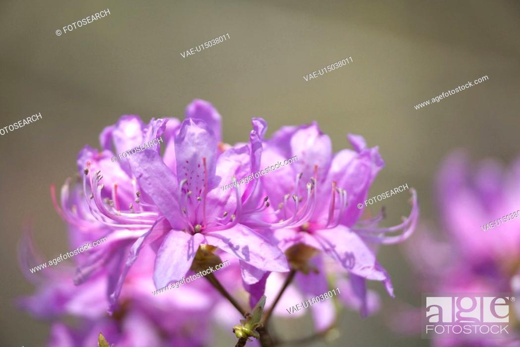 Stock Photo: Rhododendron dilatatum.