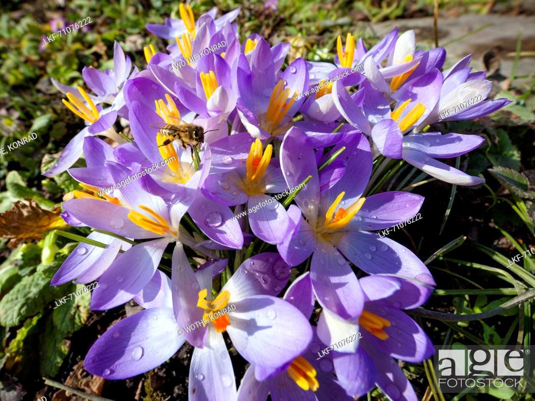 Stock Photo: gardenflowers, bee, Crocus spec., garden, Germany.
