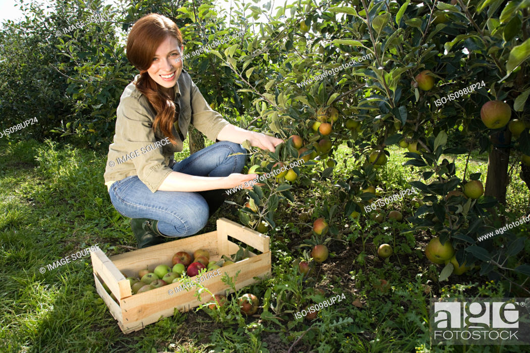 Stock Photo: Young woman picking fresh apples.