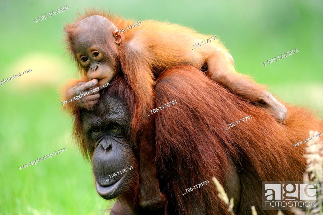 Stock Photo: Orang utan Pongo pygmaeus pygmaeus Mother with baby native to Bornéo, captive, Endangered.