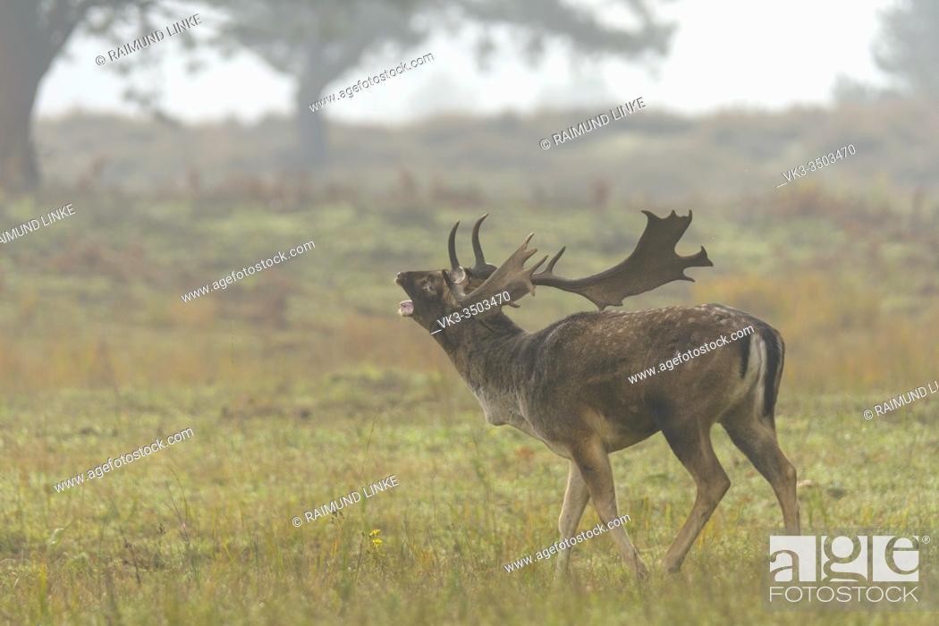 Imagen: Fallow Deer, Dama dama, during the rutting season.