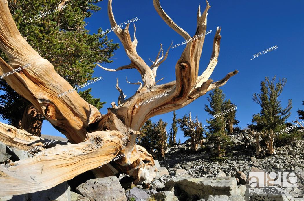 Stock Photo: weathered wood of an ancient bristlecone pine pinus longaeva at Mount Wheeler, Great Basin National Park, Nevada, USA, North America.