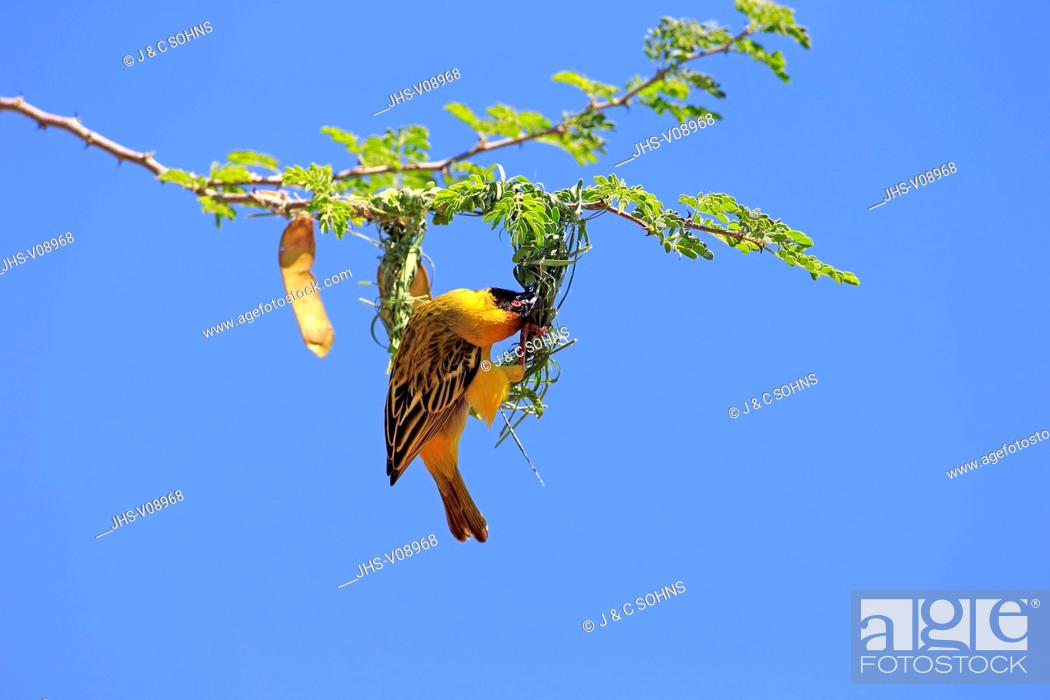Stock Photo: Masked Weaver, (Ploceus velatus), adult male builds a nest, Tswalu Game Reserve, Kalahari, Northern Cape, South Africa, Africa.