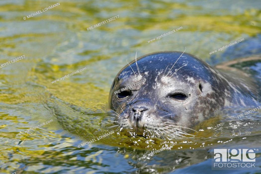 Imagen: Common Seal, Harbour seal, Seal, Phoca vitulina.