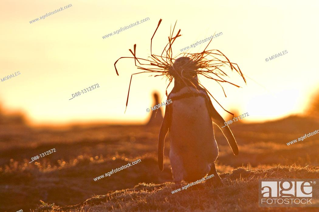 Stock Photo: Falkland Islands , Sea LIon island , Magellanic Penguin  Spheniscus magellanicus , bringing herbs for the nest , Order SPHENISCIFORMES , Family Spheniscidae.