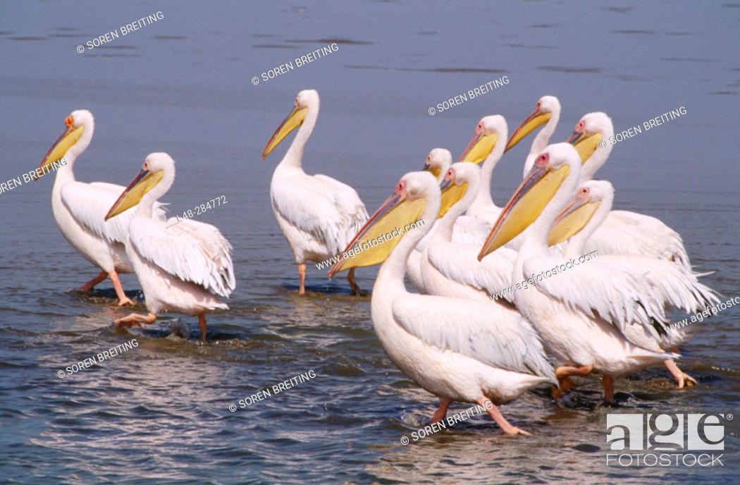Stock Photo: White Pelicans (Pelicanus onocrotalus). Namibia.