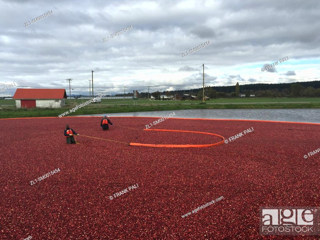 Stock Photo: Cranberry Harvest Celebration in Delta BC. . These cranberries, are wet harvested with varied colors, are destined for processing into juice, flavoring.