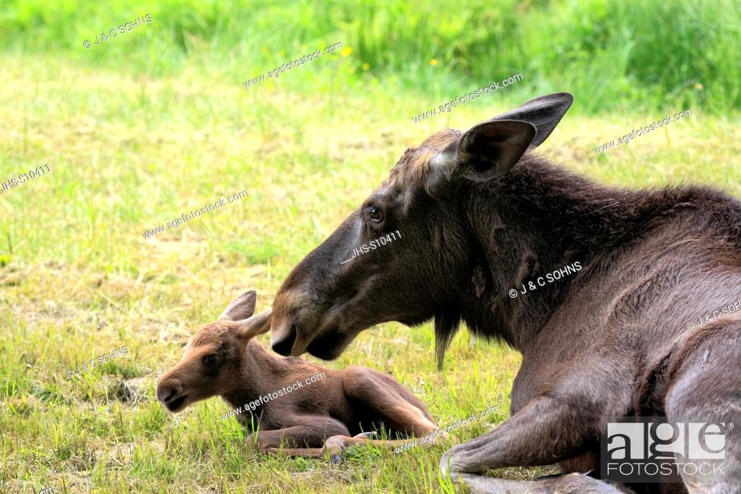 Stock Photo: Moose, Alces alces, Eurasian Elk, Scandinavia, Europe, adult mother with young.