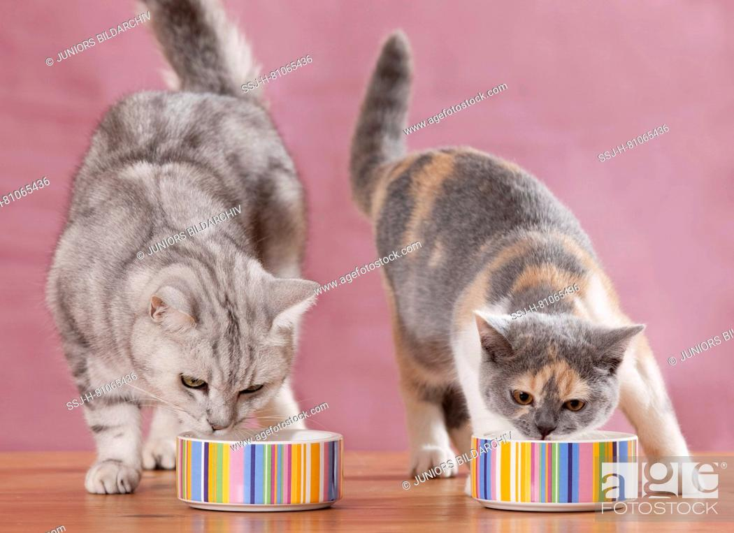 Stock Photo: British Shorthair. Adult and juvenile cat eating from multicoloured food bowls. Germany.