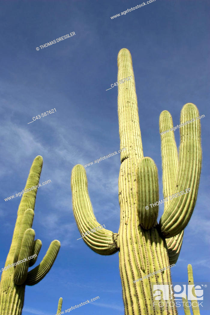 Giant Saguaro Carnegiea Gigantea Symbol Of The American