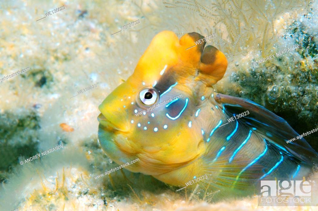 Stock Photo: Male Blennius pavo (Salaria pavo), Black Sea, Crimea, Russia.